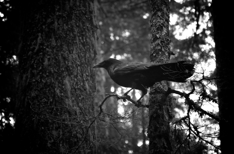 Black Raven In The Trees